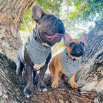 Frenchies wearing macrame dog bandana